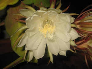 Night Blooming Cirrus by Carol Sullivan
